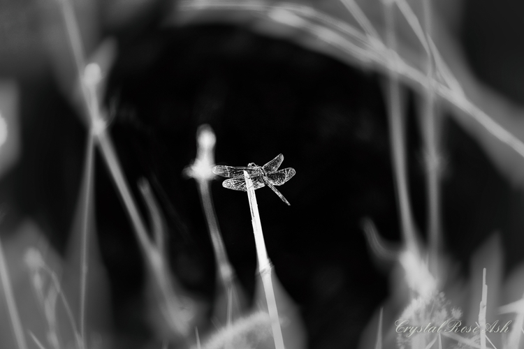 Silver wings - dragonfly, nature - crystalrose-5770 | ello