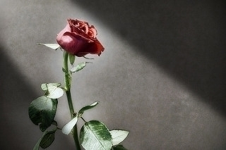 rose - photography, flower, atmosphere - bariom | ello