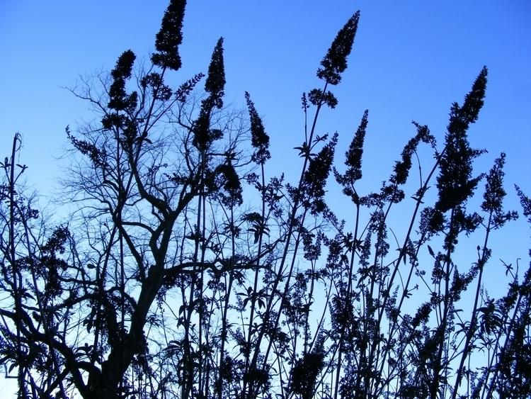Butterfly bushes winter twiligh - martinmcguire | ello