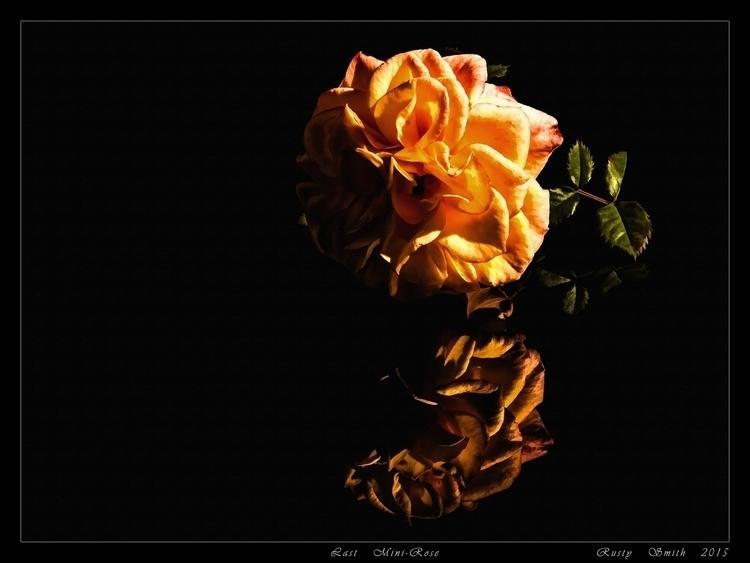Mini-Rose: photograph flowers m - rsmithdigital | ello
