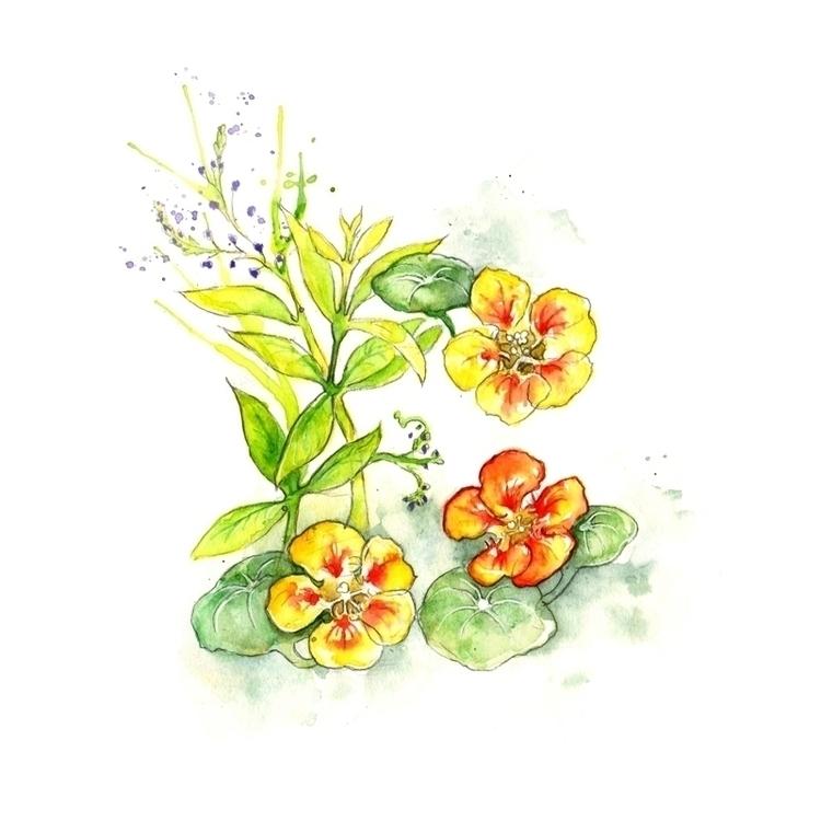 nasturtiums lemon verbena Styli - amyhollidayillustration | ello