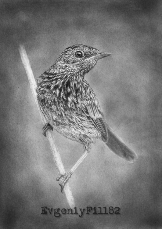 bird 4 Paper, pencil, graphite  - evgeniyfill82 | ello