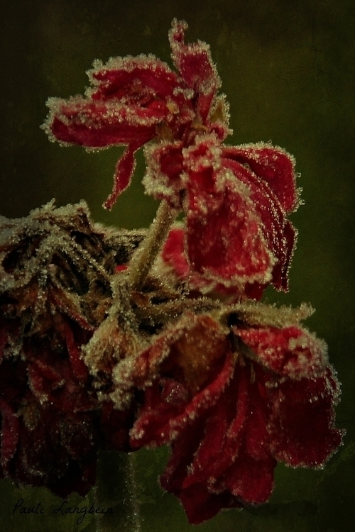 Frosted - photography, flower, flowers - paulilangbein | ello