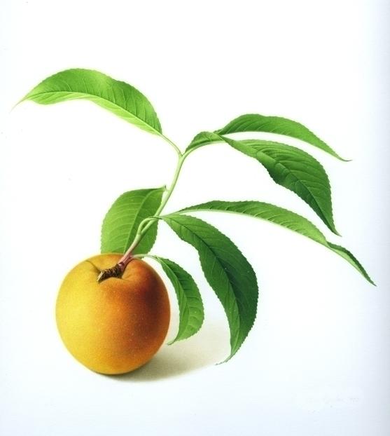 Peach - peach, fruit, botanicalart - karenkluglein | ello