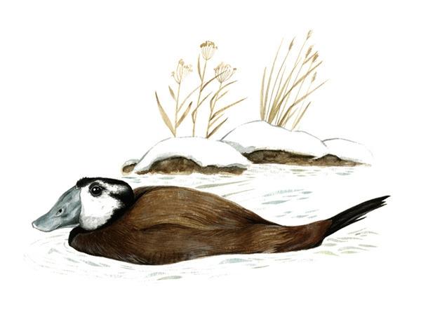 White-headed duck (Oxyura leuco - smugasta | ello