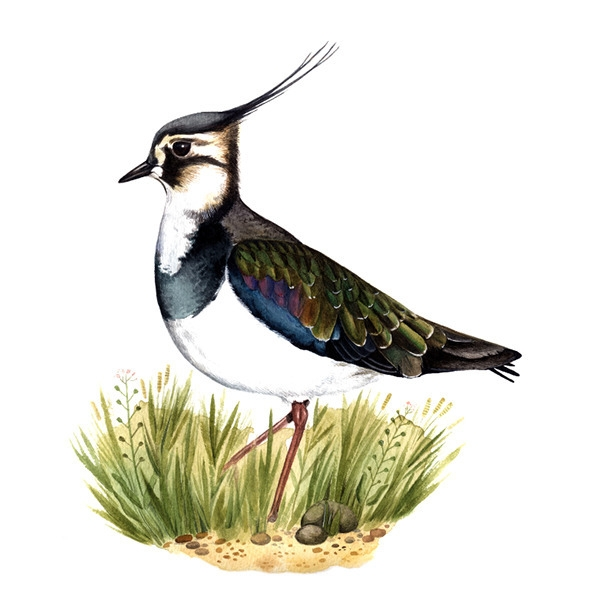 Northern lapwing (Vanellus vane - smugasta | ello