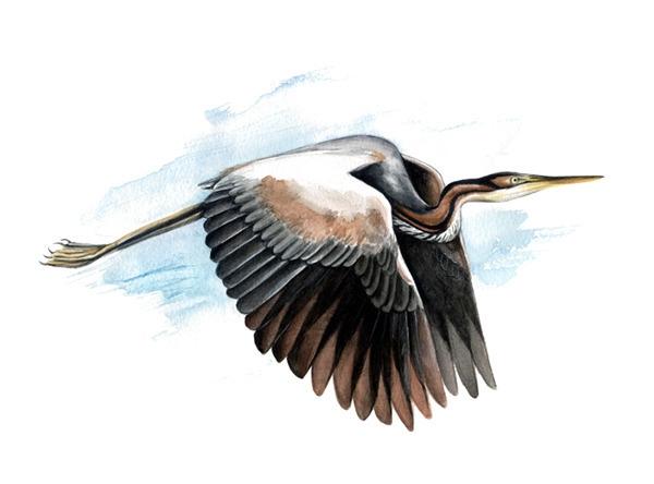 Purple heron (Ardea purpurea - illustration - smugasta | ello