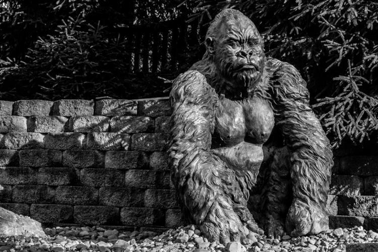 Gorilla - photography, matthodel - matthewhodel | ello