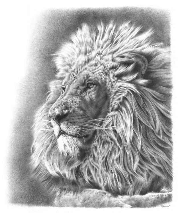 Lion pencil drawing - lion, wildlife - remrov | ello