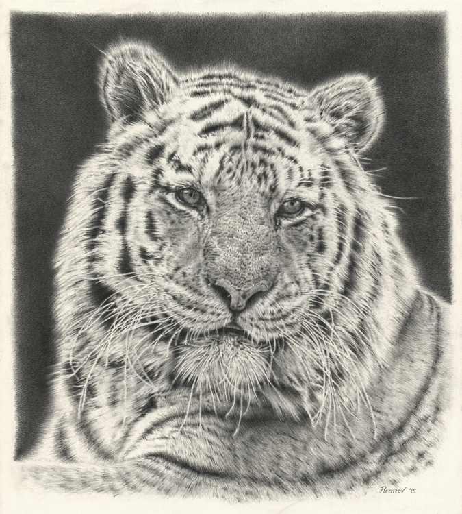 Tiger pencil drawing - tiger, wildlife - remrov | ello
