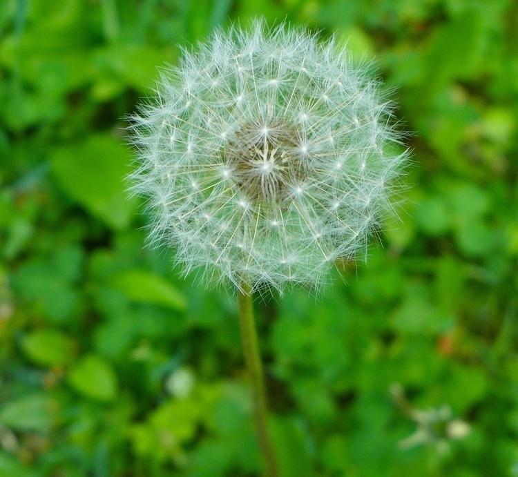 Dandelion seed - photography, environment - dalespiry | ello