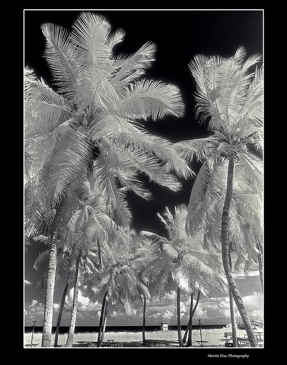 Miami Palms II, Infra Red - martfine | ello