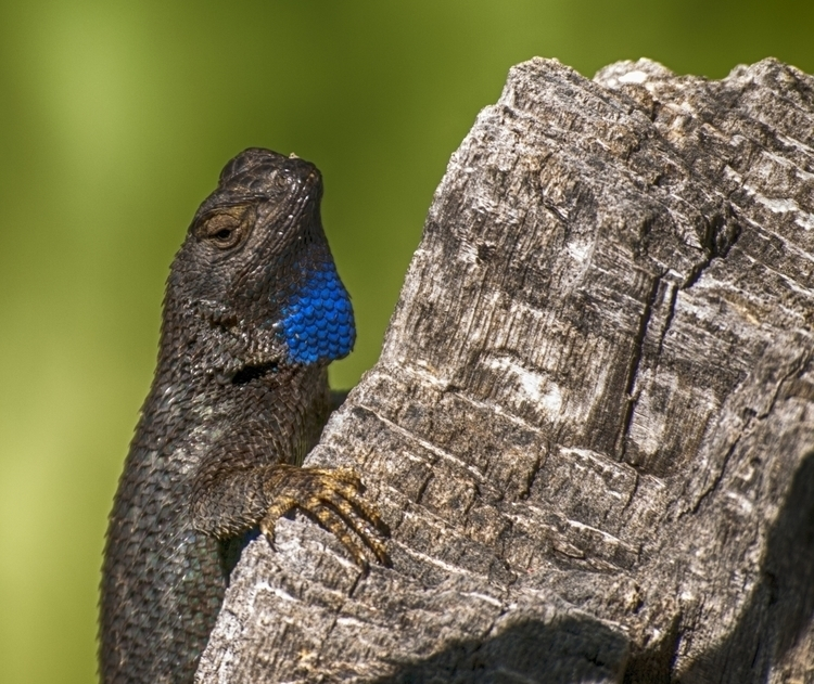 Blue Throated Fence Lizard - photography - rsdunphy | ello