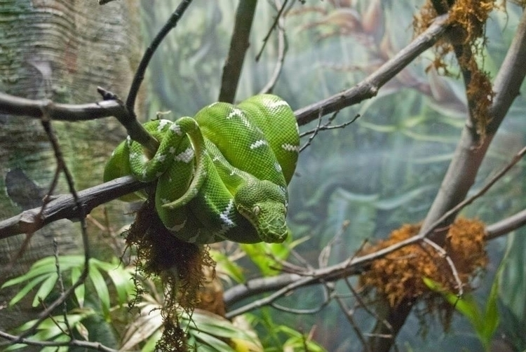 Emerald Tree Boa Cleveland Metr - angelasabetto | ello