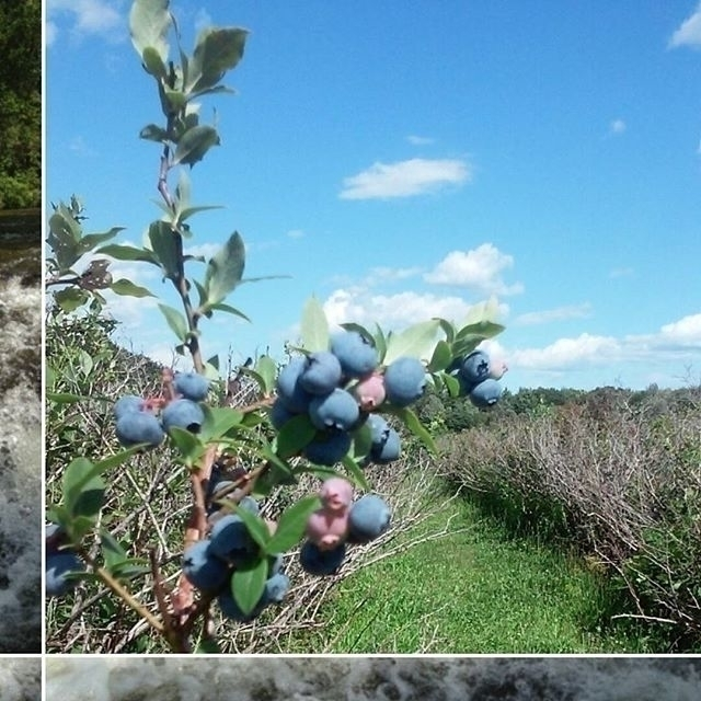 photo capture blueberry - environment - kristagill | ello