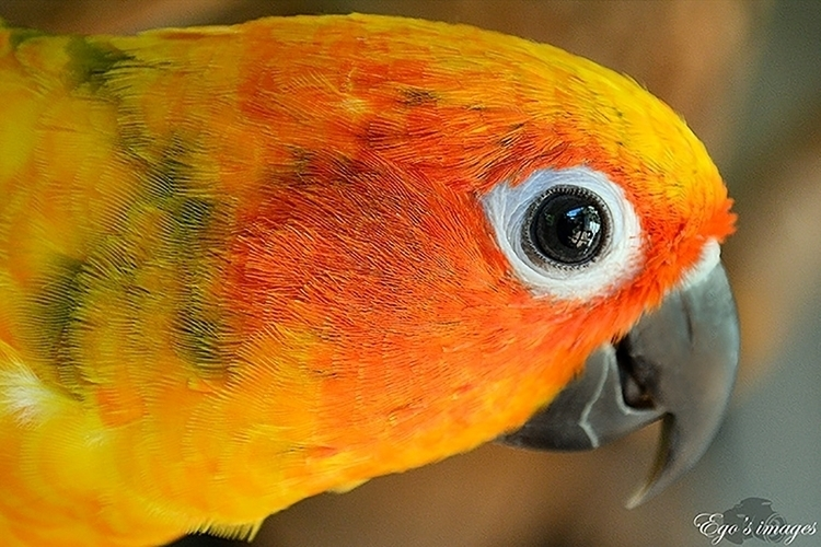 bird, parrot, sunconure, orange - egosbar   ello