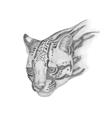'Ocelot - drawing - brandyhouse | ello