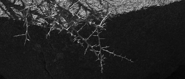 thorns - plant, photography, desert - frankfosterphotography | ello