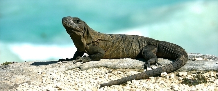 Reptolandia - animals, iguana, reptile - stefanolazzaro   ello
