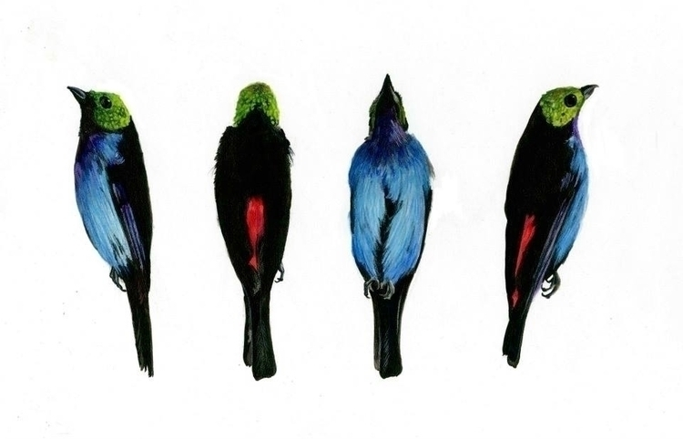 Tangara Chilensis - watercolor, birds - mf_illustration | ello
