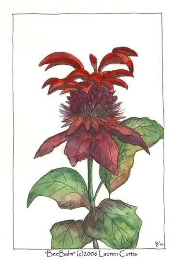 Beebalm, pen ink watercolor - illustration - laurencurtis | ello