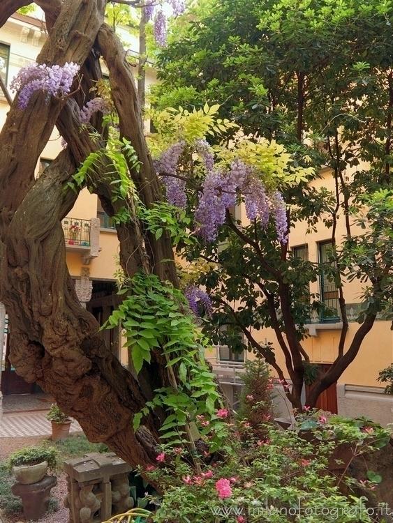 Milan (Italy): Flowering glycin - milanofotografo | ello