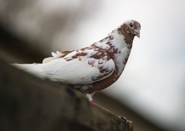 Percy pigeon. classy bird think - bradverts | ello