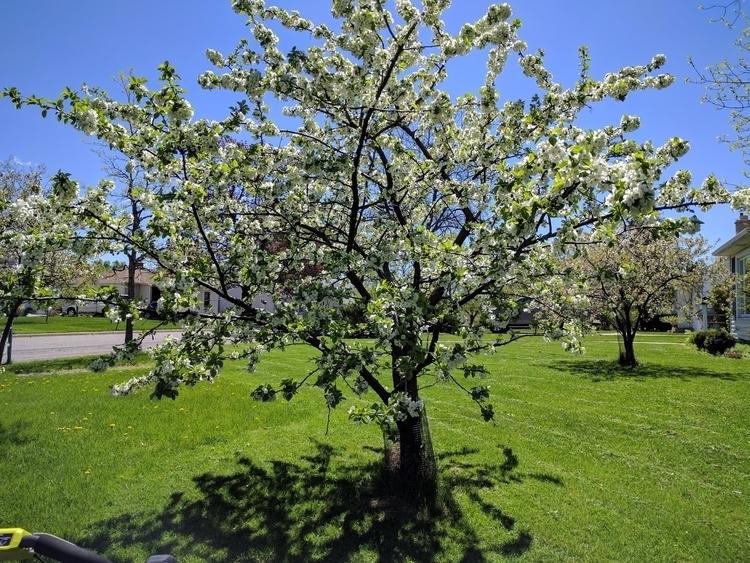 Cherry tree yard. Flowers cherr - tobecooked | ello
