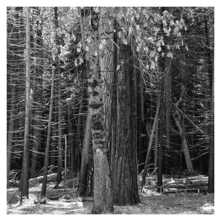 Trees, Yosemite Valley, CA - guillermoalvarez | ello