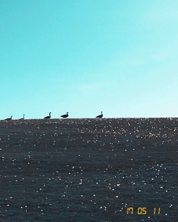 Silhouetted geese - candlesayshi | ello