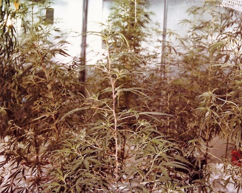 cannabis, ellocannabis, vintagecannabis - ellocannabis | ello