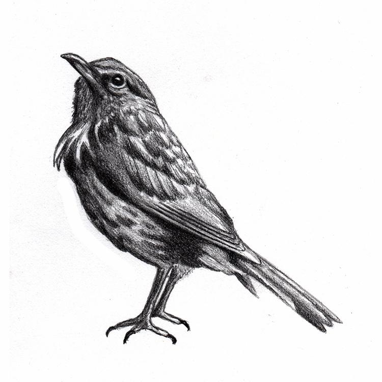 Quick songbird sketch. Year 35  - mydiagonallife | ello
