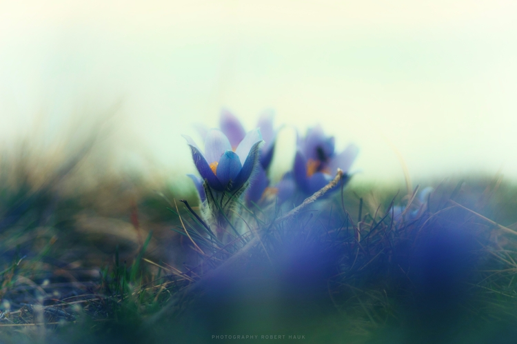 blue pasque flower impression - roberthauk | ello
