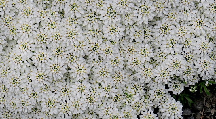 flowers remind snowstorm, dense - dave63 | ello