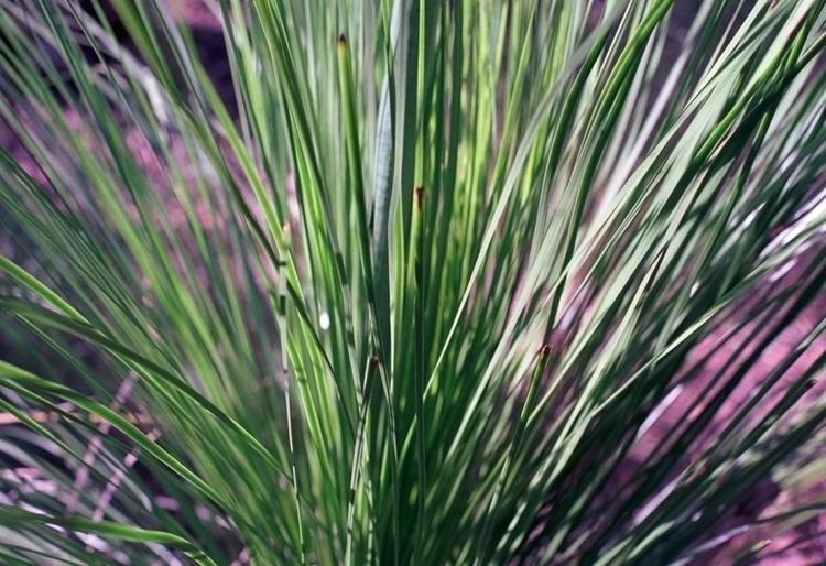 Australian native grasses Glass - dropshot   ello