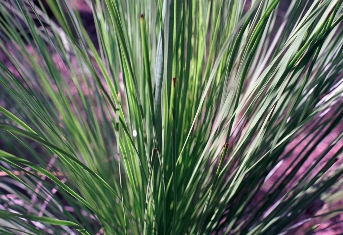 Australian native grasses Glass - dropshot | ello