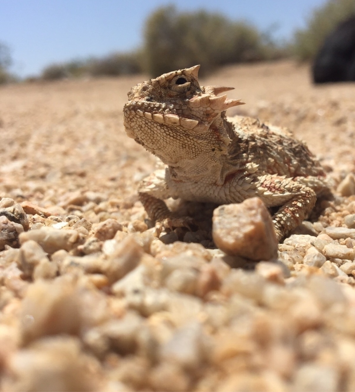 Desert Horned Lizard . Phrynoso - bamps   ello