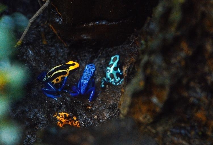 Ranas punta de flecha - frogs, colors - buciore | ello