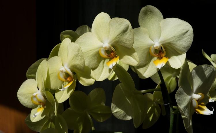 Cascade jaune... des orchidées  - gclavet | ello