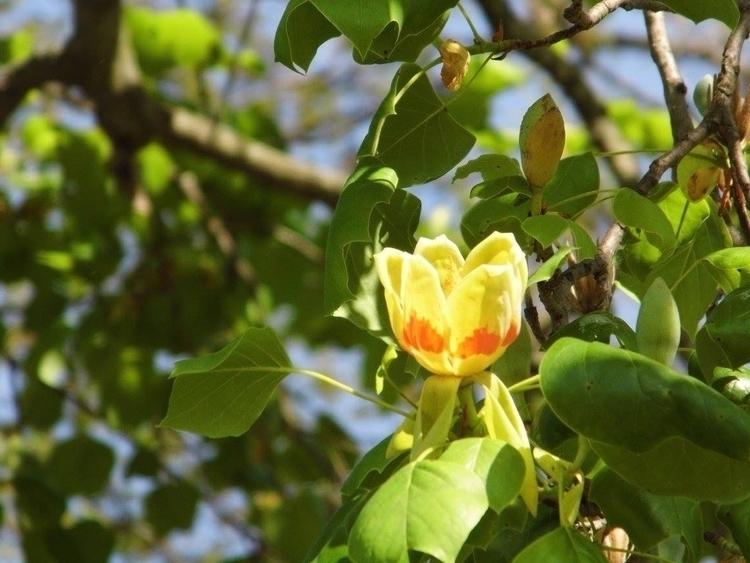 Pennville - flower#tulip#color#nofilter - eyeonyou17 | ello