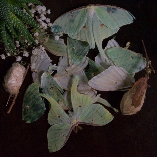 Flashback 2015 - Luna moth poet - thebutterflybabe   ello