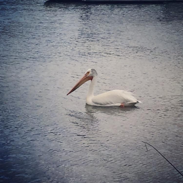 Majestic pelican. :dizzy - loveeverydamnday - teeny_yogini | ello