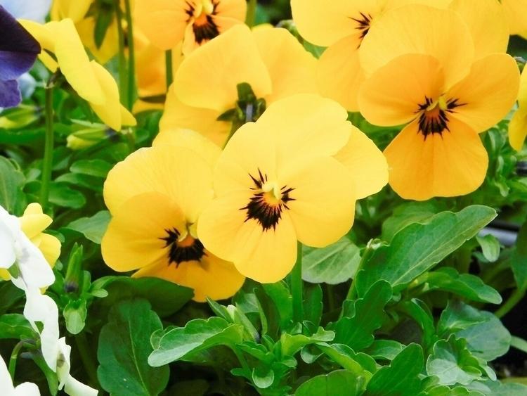 sunshine dreary day - flowers, violas - mountainwoman   ello