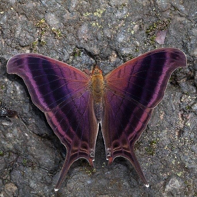 Waiter Daggerwing butterfly lim - thebutterflybabe | ello