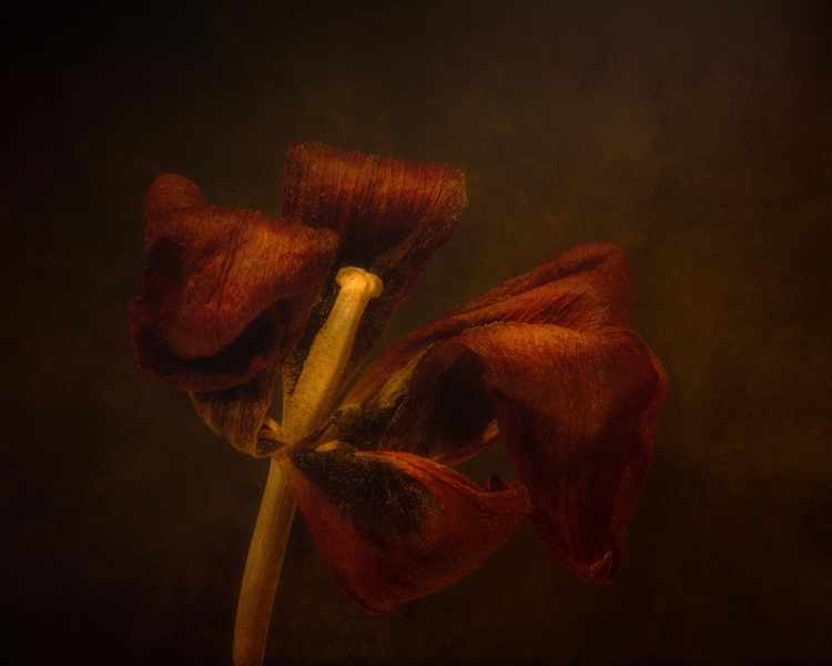 slightly Dried Tulip Blossom sh - scottnorrisphotography | ello