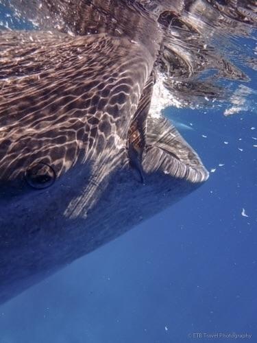 Snorkeling whale sharks - biggestfishinthesea - etbtravelphotography | ello