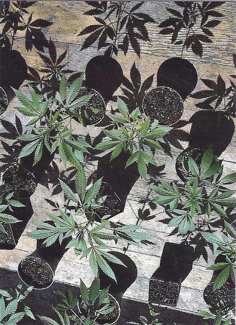 cannabis, ellocannabis, drugs - ellocannabis | ello