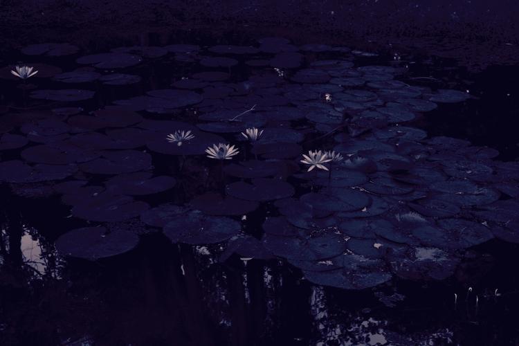 Moonlight Lotus (Sri Lanka 2015 - dainahodgson | ello