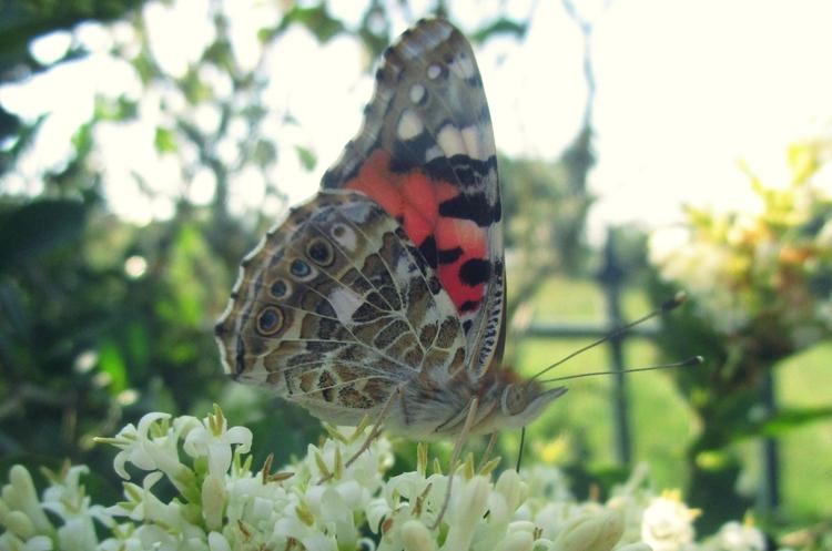 ✮ Sugar Butterfly Time year: 20 - dekodex | ello