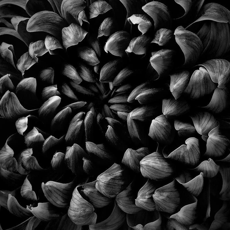 Dahlia macro black white. put f - katherinemossop | ello
